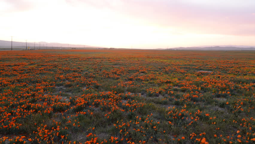 4K time lapse footage with dolly in and zoom in motion of wild flower at full bloom with sunset in California Poppy Reserve in Antelope Valley