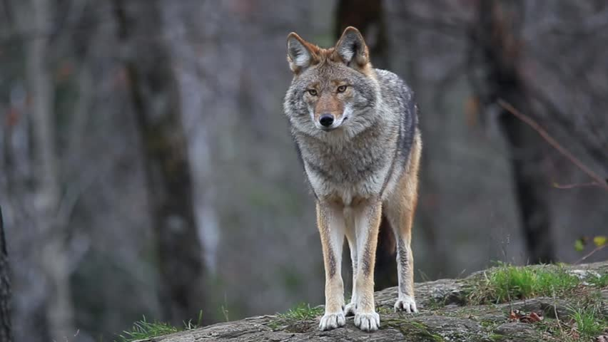 Coydog Nh: Coyote Definition/meaning