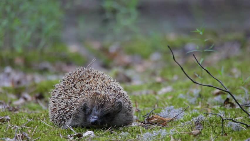 Hedgehog in wood. Summer. - HD stock video clip