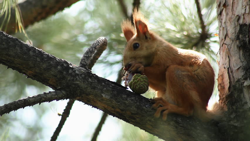 A grey Squirrel sits in a tree eating a nut. - HD stock video clip