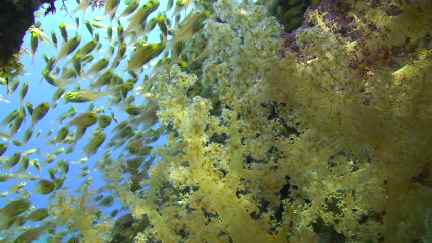 Soft coral and school of glass fish, Focus on foreground - HD stock footage clip