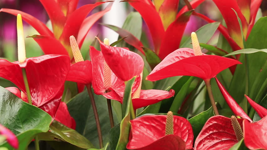 close up of red and yellow anthurium stockvideos filmmaterial 2264579 shutterstock. Black Bedroom Furniture Sets. Home Design Ideas