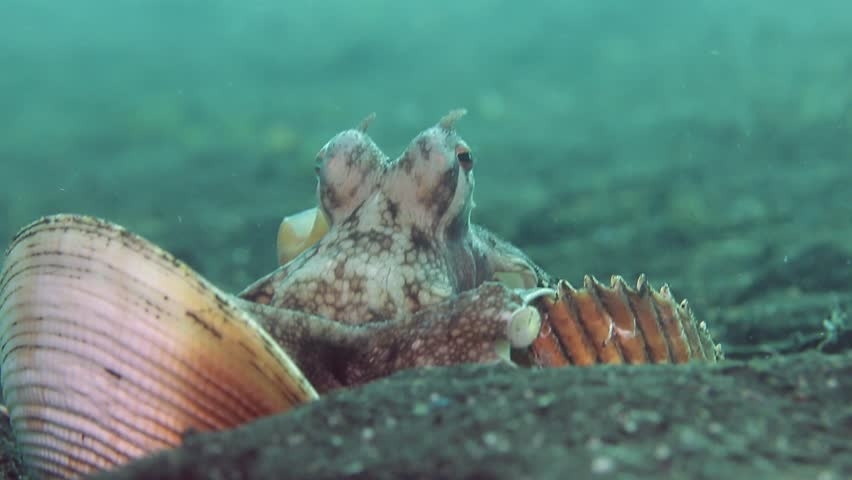Coconut Octopus (Veined Octopus) arranging shells into a shelter