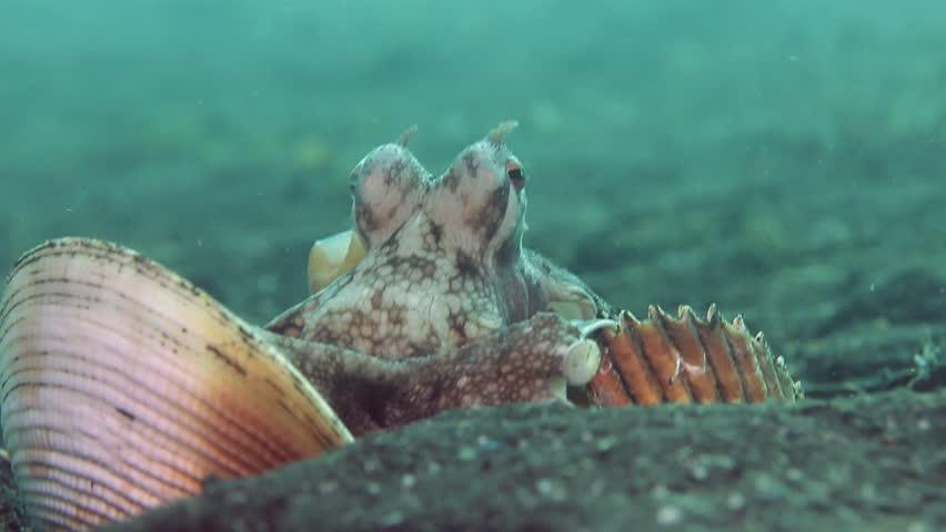 Coconut Octopus (Veined Octopus) arranging shells into a shelter