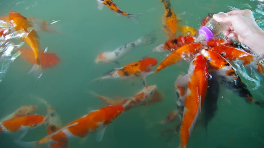 Putting Fish Food To Many Beautiful Golden Koi Fish In The Big Ponds Stock Footage Video 9097241