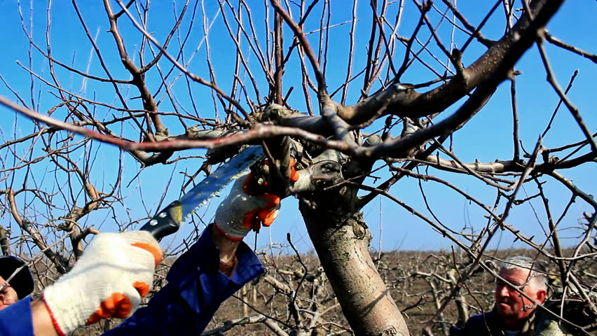Pruning of orchards ;Two fruit grower working spring pruning fruit trees in the orchard,video clip - HD stock footage clip