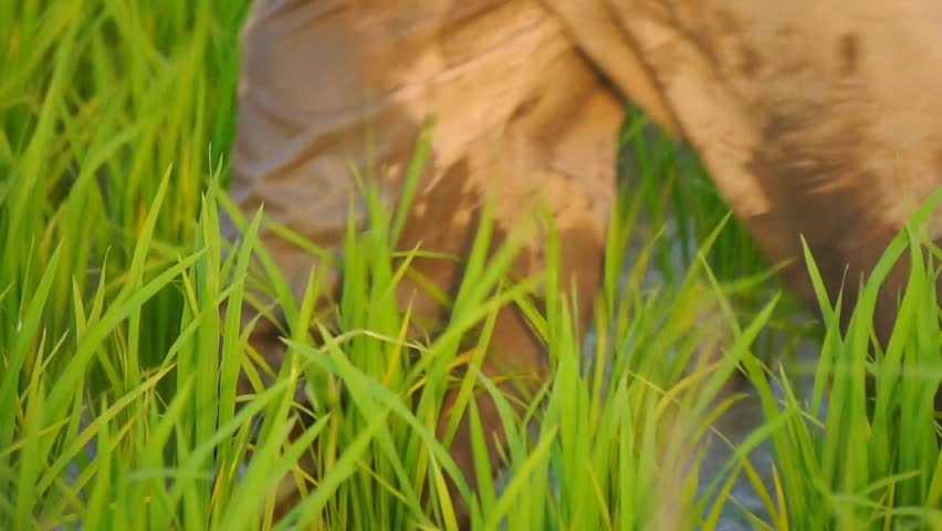 Close up of paddy stalks with man walking by.