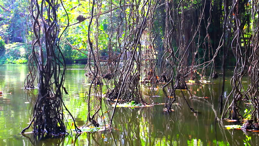 HD: Mangrove Forest, Wooden Roots At Lake In Tropical Rain ...  HD: Mangrove Fo...