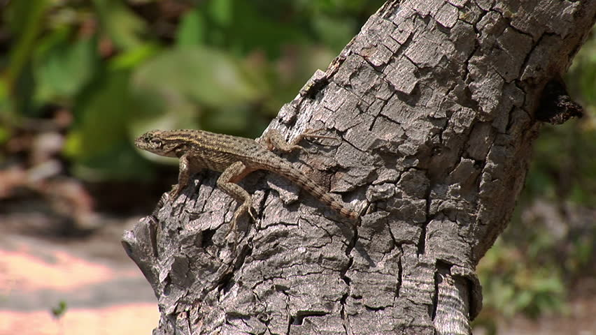 Lizard in Lucayan National Park on Grand Bahama