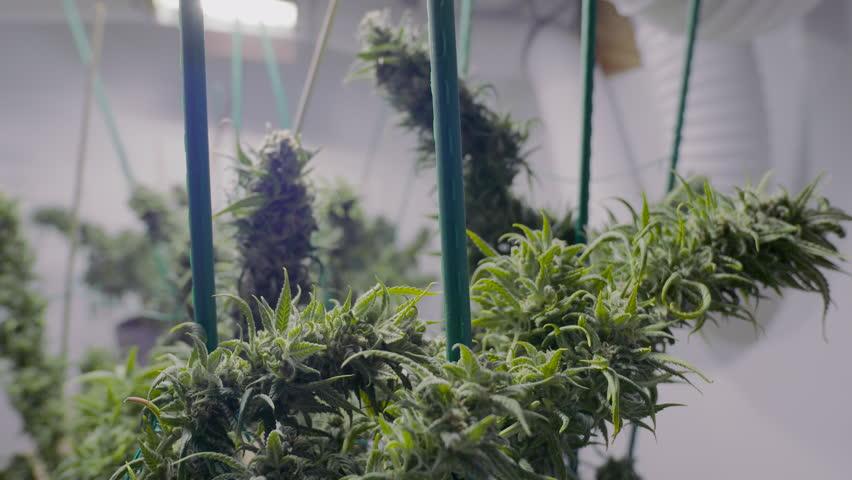 Marijuana buds ready to be trimmed