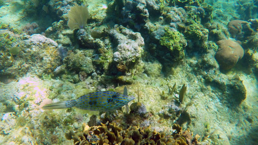 Scrawled Filefish. 4K footage.
