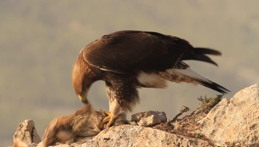 Golden eagle  Aquila chrysaetos  - HD stock footage clip