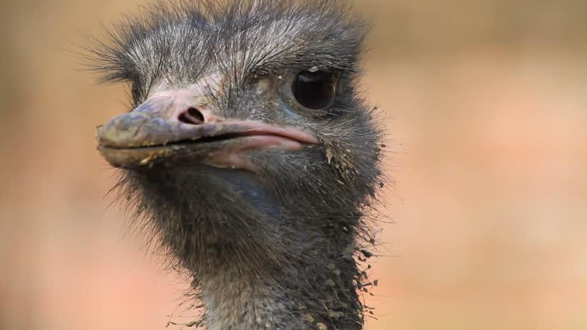 birds desert ostrich hd - photo #38