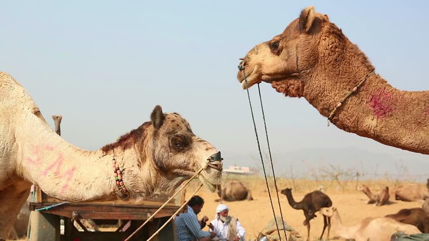 PUSHKAR, INDIA - NOVEMBER 21, 2012: Camels at the Pushkar Camel Fair, on Nov.21, 2012, Pushkar, Rajasthan, India. - HD stock video clip