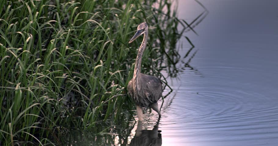 Great Blue Heron walking through wetlands in slow motion. - HD stock video clip